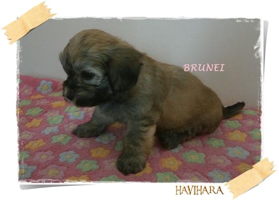 Fci Havanese Kennel Havihara Puppies Bichon Havanais